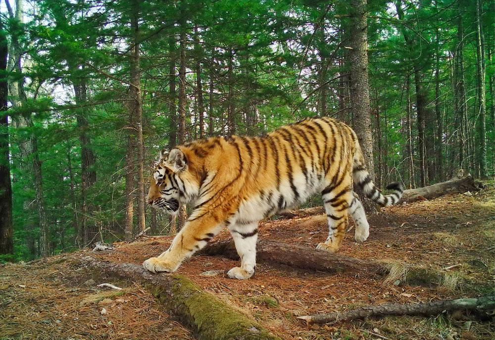 Грибники рассказали, как спаслись от тигра на дереве